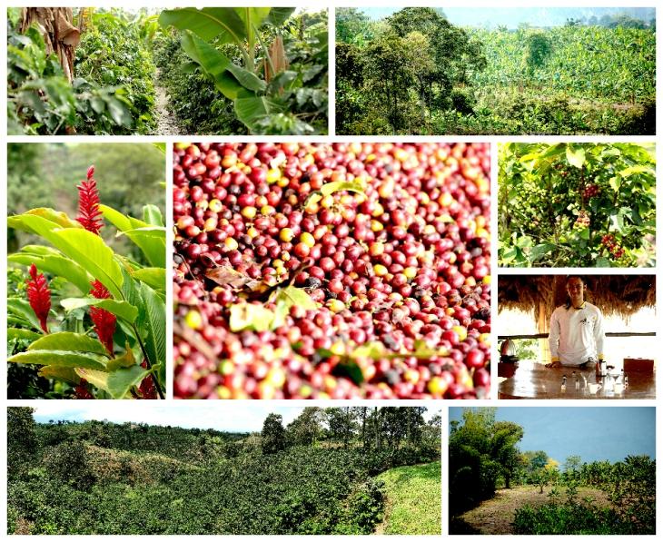 colombia-coffee-plantation