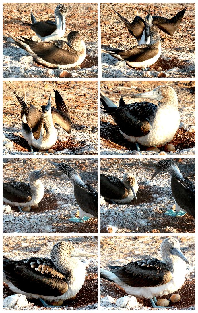 galapagos-blue-footed-booby-drama