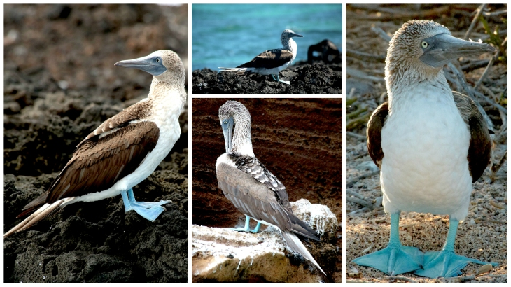 galapagos-blue-footed-booby
