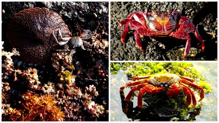 galapagos-crabs