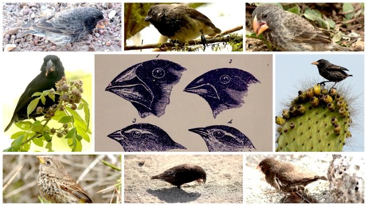 galapagos-darwins-finches