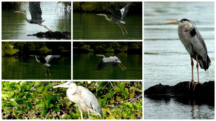 galapagos-flight-of-blue-heron