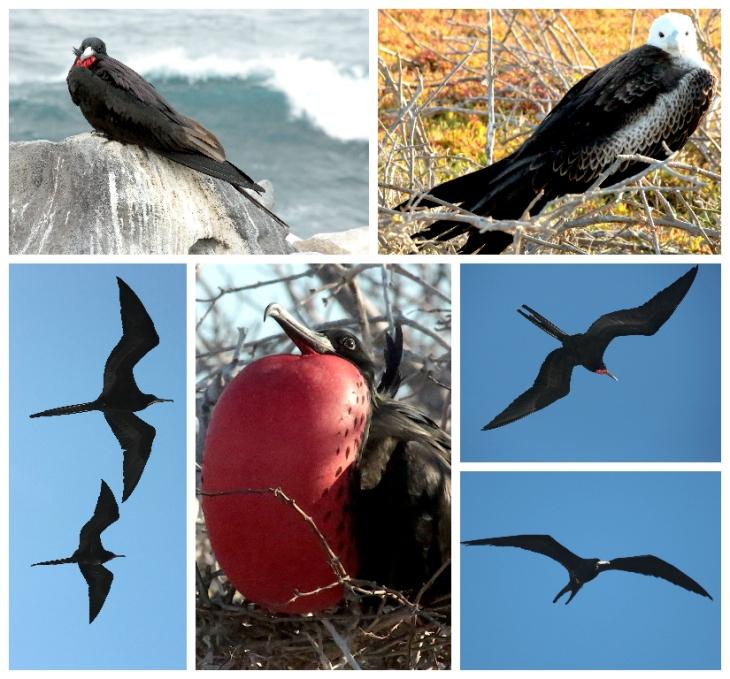 galapagos-frigate-bird