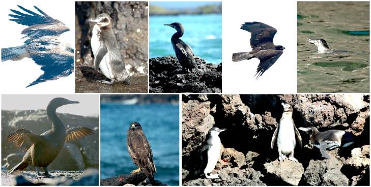 galapagos-hawks-penguins-cormorants