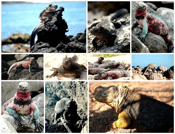 galapagos-iguanas-1