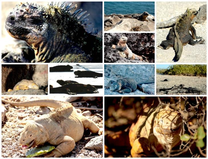 galapagos-iguanas-2