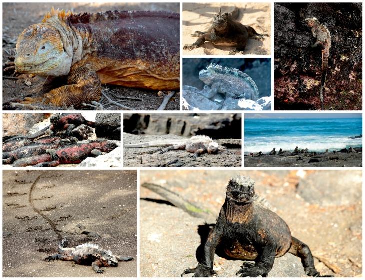 galapagos-iguanas-3