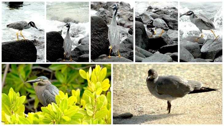 galapagos-lava-heron-and-dove