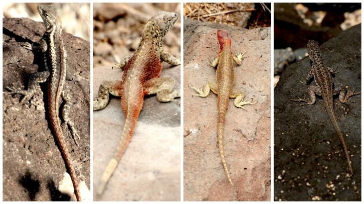 galapagos-lizards-1