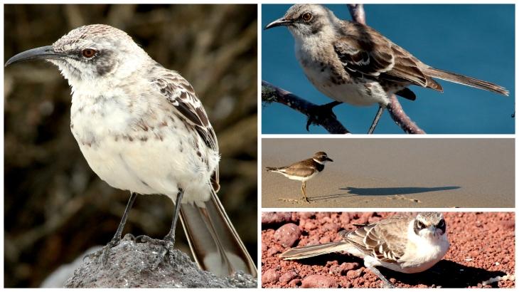 galapagos-mockingbird