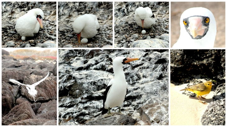 galapagos-nesting-nazca-booby-plus-others