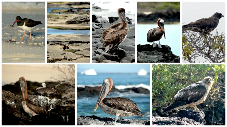 galapagos-pelican-oyster-catcher-hawk