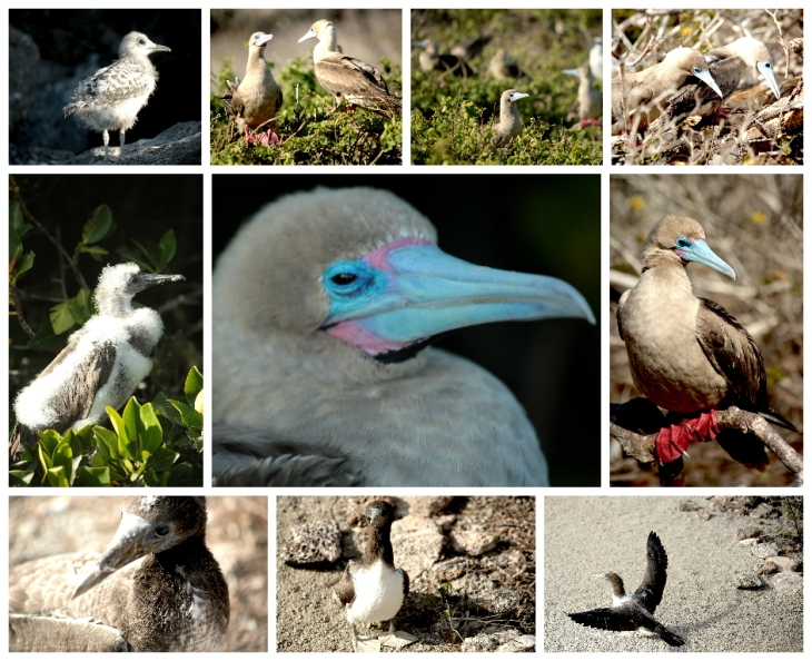 galapagos-red-footed-boobies