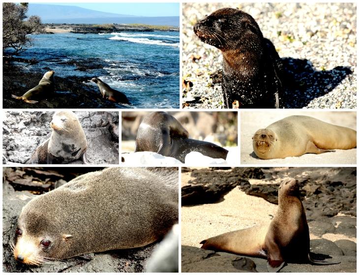 galapagos-sea-lions-2