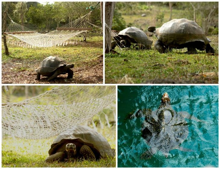 galapagos-tortoises-and-turtles-2