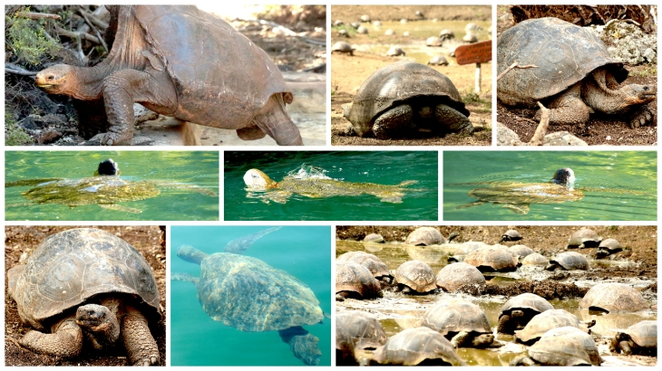 galapagos-tortoises-and-turtles